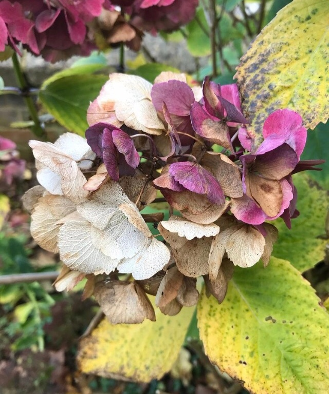 the image is of a faded hydrangea
